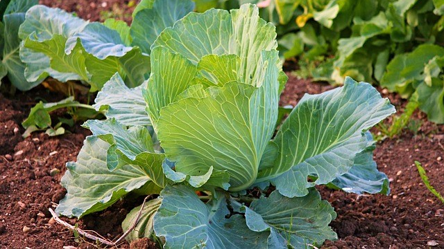 white-cabbage-2770028_640